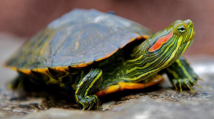 картинки черепаха красноухая