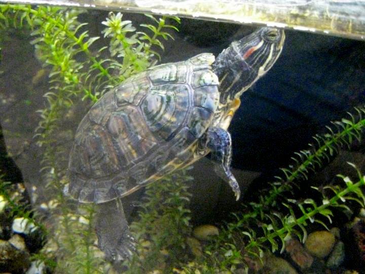 Фото красноухой черепахи в аквариуме