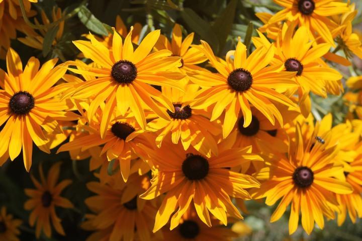 Черноглазая Сюзан - картинка, фотография цветка, фото, картинка, аватара