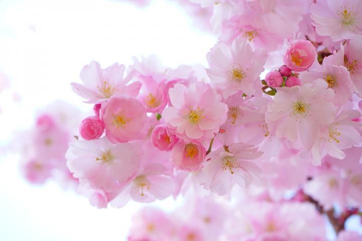 Цветение Сакуры - картинка, фотография цветка, фото, картинка, аватара