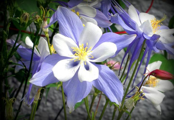 Колорадо Колумбайн - картинка, фотография цветка, фото, картинка, аватара