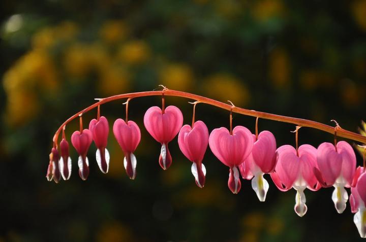 Дицентра, разбитое сердце - картинка, фотография цветка, фото, картинка, аватара