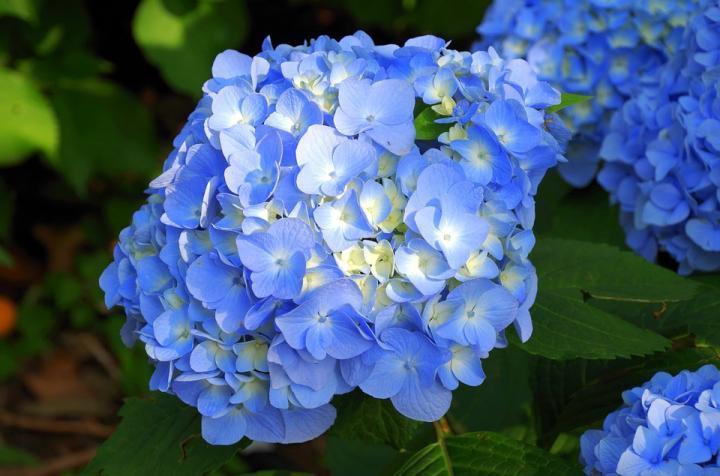 Гортензия - картинка, фотография цветка, фото, картинка, аватара