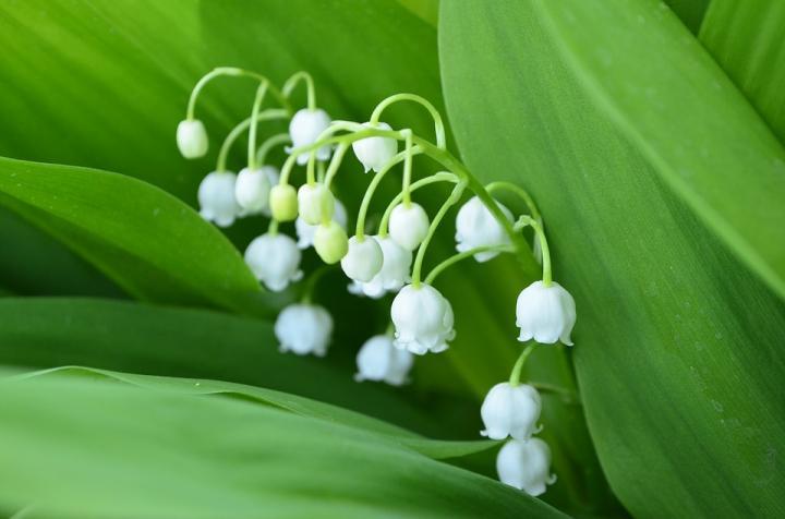 Ландыш - картинка, фотография цветка, фото, картинка, аватара