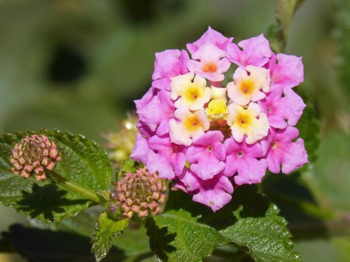 Лантана - картинка, фотография цветка, фото, картинка, аватара