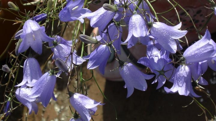 Синие колокольчики - картинка, фотография цветка, фото, картинка, аватара