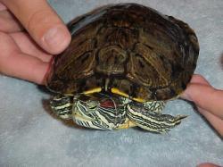 Красноухая черепаха в домашних условиях: уход, фото
